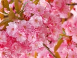 *Cherry Blossoms*
