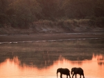 elephants at the river at sunset