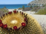 flowering giant cactus on a catalina coast