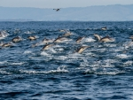 Herd of Common Dolphins in Monterey Bay, California