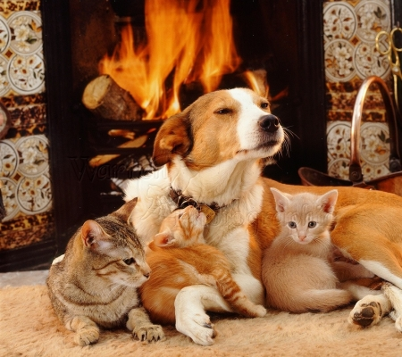 dog and cats by the fireplace - Cats & Animals Background ...