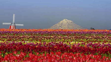 Tulip field - tulip, mountain, flower, spring