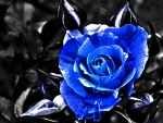 *Teardrops of a blue rose...*