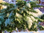 Winter Fir Bough