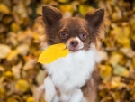 Chihuahua dog foliage autumn