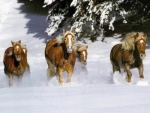 Horses running in the snowland