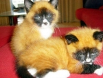 Foxy Kitties