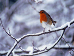 Robin in a cold winter