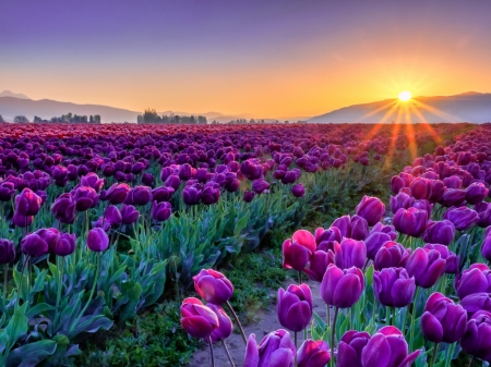 Field of Purple Tulips at Sunset - Flowers & Nature ...
