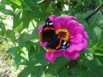Dark Butterfly on the Pink Flower