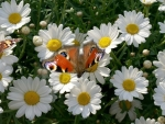 Butterfly on Daises