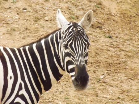 Zebra Close-up - Zebra Close-up, African Animals, Zebra, Black and White