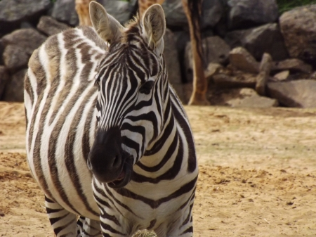 Full Body Zebra - Colchester Zoo, Zebra Close-up, African Animals, Zebra, Black and White