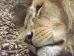 Close-up of Male African Lion Sleeping
