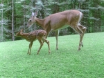 mom and child deers