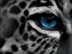 Snow leopard eye
