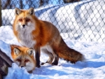 Red foxes in snow