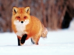 Hunting red fox