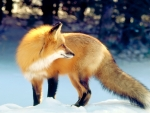 Golden fox in the snow