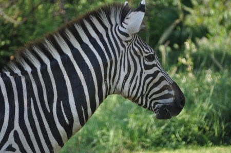 Is a Zebra White with Black Spots? - Portrait, Still, Black and White, Stripes