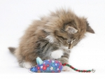 playing with a toy mouse