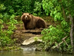 Brown Bear in a Forest