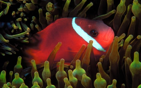 red anemone fish - anemone, red, plant, fish