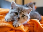Kitty in blanket