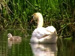 Swan with Chick