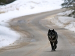 Lone Wolf at Bow Valley Parkway, Banff NP