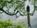 beautiful peacock in tree