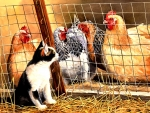 Visit With Hens - Cat F