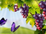 Wine Grapes and Butterflies