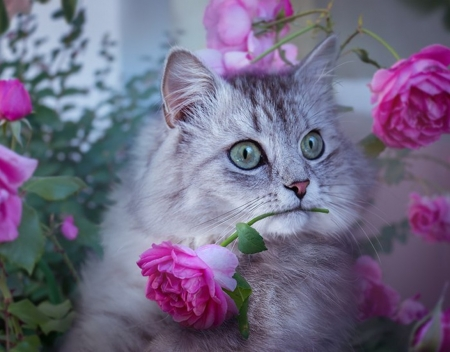 ♥ - pink, roses, abstract, cat