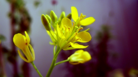 Mustard flower - Flowers & Nature Background Wallpapers on ...