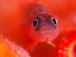 A Female Goby Guards Her Eggs