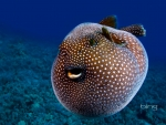 A Guineafowl Pufferfish Hawaii