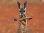 A Red Kangaroo In The Sturt Stony Desert Australia