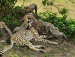 A STORY OF A CHEETAHS FAMILY