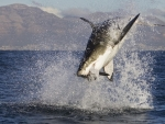 Great White Shark feeding off South Africa coast