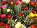 Colorful Cactus in Bloom