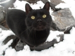 Nicky the black Manx