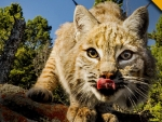 great wild cat