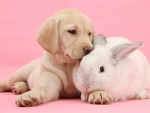 Labrador pup and white bunny