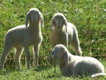 Cute sheeps as the sons of GOD