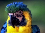 Macaw Parrot F