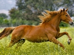 Galloping in the Pasture f