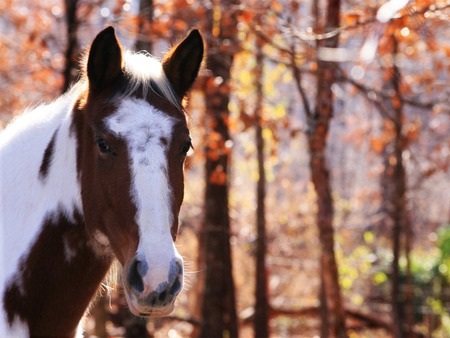 Autumn Horse - horse, trees, leaf, Fall, tree, animal, autumn, paint, white, red, nature, woods