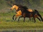 Galloping Beauties