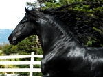 Black Horse With Flowing Mane F